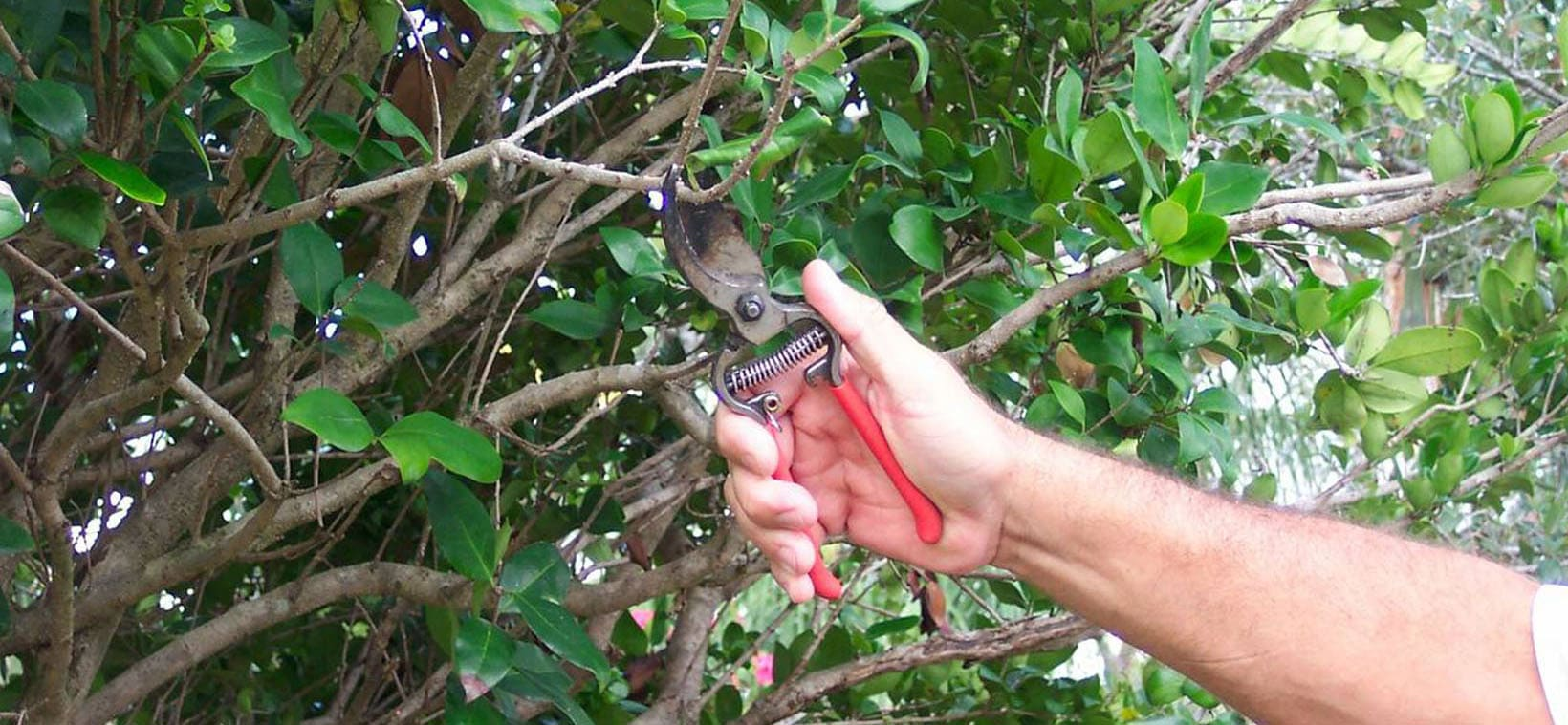 Aiello Landscape traning pruning