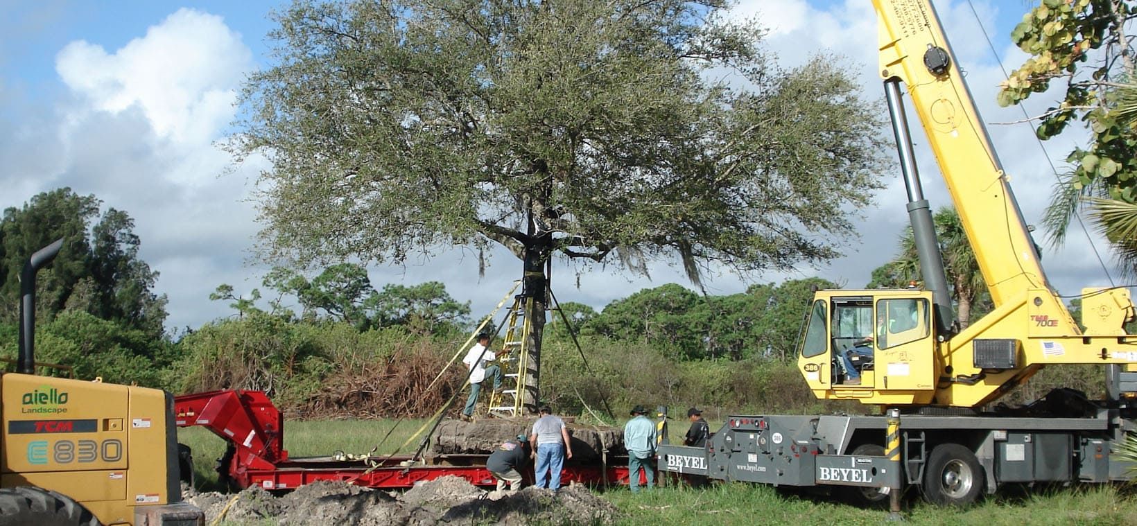 Aiello-Landscape_tree-relocation_Hobe-Sound